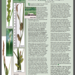 Sedges, what good are they? An article with images of Carex